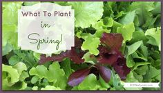 What seeds to start indoors and what to plant in early Spring - PLUS - a delicious Wilted Lettuce recipe.