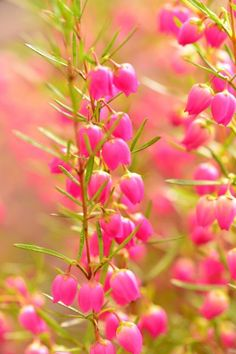 Don't let the name Red Boronia fool you. Boronia information makes it clear that this common name for Boronia heterophylla doesn't necessarily describe the color of the flowers in which the shrub bears - a brilliant shade of magenta pink. Learn more here. Beautiful Rose Flowers, Amazing Flowers, Growing Flowers, Planting Flowers, Flower Gardening, Rose Plant Care, Small Flower Gardens, Australian Native Garden, Flora