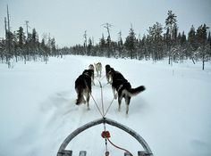 #Finland - Excursion with huskies in Levi, Lapland.
