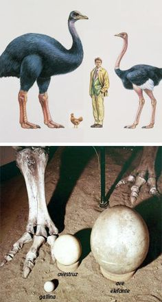 Elephant Bird - I have an Elephant Bird egg...It just might be my favorite fossil that I own....Love it!!!!