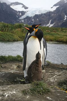 Three-headed king penguin and chick