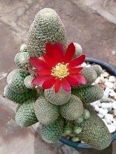 ✿* Cactus *✿* Suculentas *✿  Rebutia Heliosa Var Condorensis (Sulcorebutia heliosa var condorensis)