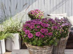 Forleng sommeren med frilandskrysantemum Plum Purple, Container Gardening, Planters, Flowers, Porch Ideas, Friendship, Cottage, Gardens, Yard Landscaping