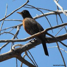 American Robin - spotted at Palomar State Park Doane Valley Nature Trail