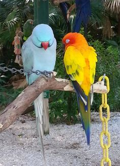 Viktor, Indian Ringneck Parrot, and Loki, Sun Conure. Post-lunch nap. Rescues residing at Sarasota Jungle Gardens. photo: my sister, a dedicated volunteer at the parrot staging area. She knows all the parrots and they know her.