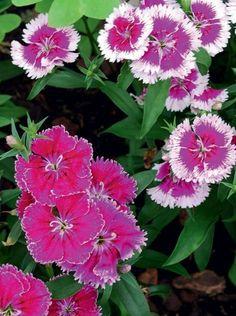 PARHAAT PERENNAT – TOP 12: Harjaneilikka Perennials, Different Colors, Garden, Flowers, Plants, Koti, Garten, Lawn And Garden, Gardens