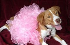 Dolly is an adoptable English Springer Spaniel Dog in Monroe, NC. Who says redheads do not look good in pink...look out our little 4 month old Dolly. She is precious in pink or just about any color. H...