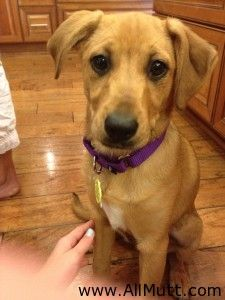 """Meet Scarlett! We got her from the local Humane Society where she was listed as a """"terrier mix"""". We did a Wisdom Panel DNA test on her that listed her primarily as a Yorkshire Terrier/Poodle mix with traces of Great Dane, Chihuahua, Dogue de Bordeaux, American Staffordshire Terrier and Australian Shepard. she is beautiful!"""
