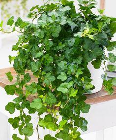 Klimop 'Wonder' | Planten | Bakker Hillegom
