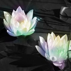 Rainbow Water  Lilies