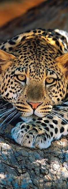 animal theme now.... LEOPARD... such a stunning cat....