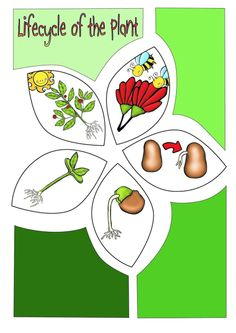 Comic Book: create a comic book on the life cycle of the plant.  This unit is packed with activities, diagrams, foldables, worksheets, and more. Life cycle cut-outs: 2 different types, one traditional and the other in the shape of a flower. Black line and colour. http://www.teacherspayteachers.com/Product/Life-Cycle-of-The-Plant-1249022