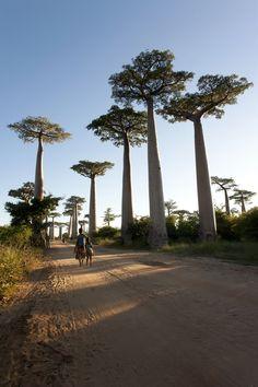 Mada's way of baobabs