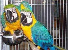 Animals - parrots and fertile parrot eggs for sale We are parrot breeders of high quality talkative breeds and have. Eggs For Sale, Birds For Sale, Budgies, Parrots, Green Wing Macaw, Best Pet Birds, Toco Toucan, Parrot Pet, African Grey Parrot