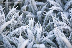 Gefrostete Distel - #winter / © wildeschoenheiten.wordpress.com