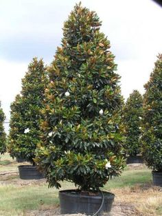 Magnolia grandiflora Little Gem Magnolia Blerick Trees Buy Online Trees Advanced Trees, Screening Plants, Fruit Trees Dwarf Magnolia Tree, Little Gem Magnolia Tree, Magnolia Grandiflora Little Gem, Magnolia Trees, Magnolia Tree Types, Evergreen Magnolia, Garden Trees, Lawn And Garden, Garden Pots
