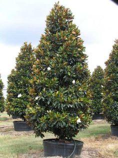Magnolia grandiflora Little Gem Magnolia