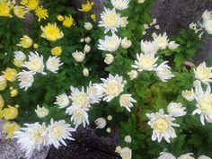 2012 10 27 crisantemi