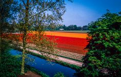 Tulips fields beside the Keukenhof (Netherlands) - Photo : Renaud Cornu-Emieux