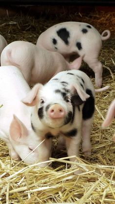 cute animals - 13 cute pigs for your Monday . animals baby animals cats Pandas puppies animalsDear cute animals - 13 cute pigs for your Monday . Cute Baby Animals, Animals And Pets, Funny Animals, Wild Animals, Barn Animals, Barnyard Animals, Mini Pigs, Baby Pigs, Cute Pigs