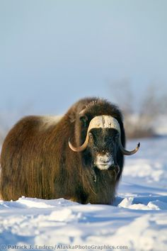 Bull Musk Ox on Alaska's snowy Arctic Coastal Plain. All Animals Pictures, Cow Pictures, Big Animals, Nature Animals, Animals And Pets, Beautiful Creatures, Animals Beautiful, Musk Ox, Wild Creatures