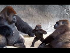 Me, baby gorilla,.you, mommy gorilla. Let's try that again till we get it straight. Me, baby gorilla. Like Animals, Cute Baby Animals, Animals And Pets, Funny Animals, Animals Photos, Funny Dogs, Primates, Beautiful Creatures, Animals Beautiful