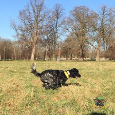 There she goes...  #opcbonnie #cockerspaniel #dogs #phoenixpark #ireland