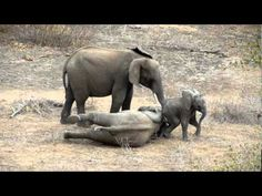Beautiful footage of elephants in natural habitat ♥ (Kruger Game Reserve). Two adolescent elephants were mock wrestling when the smaller one fell down and was having trouble getting up. The tiny baby came running and seemed anxious to help  the one on the ground ♥