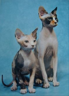 My Spynx cats are models!