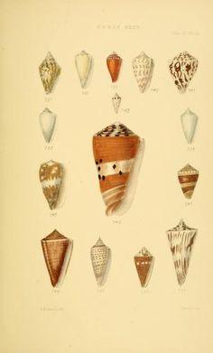 v.5 (1887) [Plates] - Thesaurus conchyliorum, or, Monographs of genera of shells - Biodiversity Heritage Library