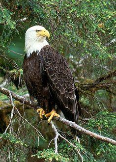 Bald Eagle by Art Wolfe