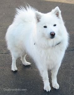 The American Eskimo is a beautiful, small to medium-size Nordic-type dog that looks like a miniature Samoyed. There are three varieties: toy, miniature and standard