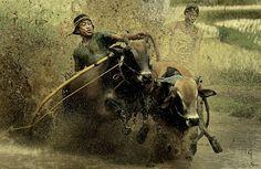 Pacu Jawi #2 ( Cow Racing ) by adib muhandis on 500px