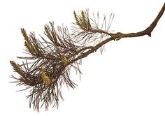 pine-fiori-di-bach