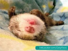 Daily Paws Picture of the Day: Awwww Ferret! - http://www.vetlocator.com/dailypaws/2013/03/daily-paws-picture-of-the-day-awwww-ferret/