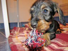 Dachshund, Wire-haired, puppy