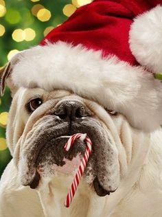 Christmas bulldog.