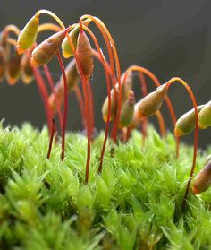 Bryum_pallescens