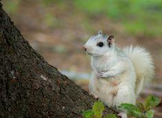 White squirrels of Brevard, NC