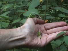 Jewelweed - Poison ivy relief, flowers/seeds are edible, seeds can be used like pine nuts and the juice from leaves, stems and blooms for stings and itching. Recipe on video for juicing in early July (external application only). Jewel Weed, Seafood Seasoning, Edible Wild Plants, Weed Edibles, Flower Food, Edible Flowers, Medicinal Plants, Native Plants, Poison Ivy