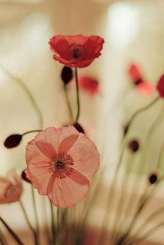 Poppies- so pretty. Would make a beautiful print.