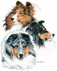 Shetland Sheepdogs Drawing  - Shetland Sheepdogs Fine Art Print
