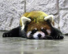 Ailurus fulgens (Panda menor)