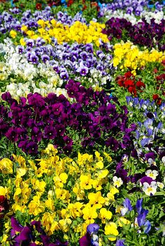 Colorful spring flowers, Oulu.