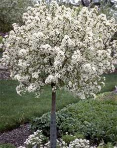 The Lollipop Crabapple is round and compact with white flowers and yellow fruit. The Lollipop Crabapple is a great accent tree. Mature size: 10' tall x 10' wide.