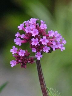 Verbena bonariensis - seeds prolifically and with it's ling, wiry stems, looks great threading through other plants in the garden.