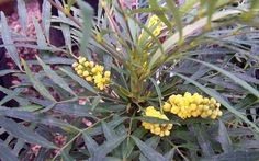 Soft Caress Mahonia - Quart - Shrub - Shrubs for Winter Color Winter Plants, Winter Garden, Soft Caress Mahonia, Plant Design, Southern Living, Garden Plants, Shrubs, Roots, Landscape