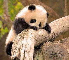 The cutest baby panda