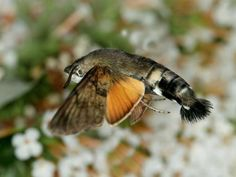 8. The Hummingbird Hawk-Moth (le sphinx colibri) 21-animaux-inhabituels-dont-vous-nauriez-jamais-soupconne-lexistence42