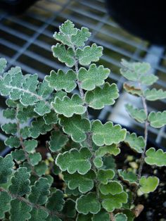 Bog Plants, Rare Plants, Foliage Plants, Indoor Plants, Ferns Garden, Hillside Garden, Fern Images, Platycerium, Fern Plant